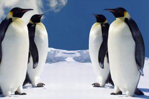 _downloadfiles_wallpapers_1600_900_4_emperor_penguins_wallpaper_penguins_animals_305